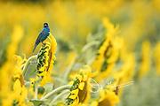 An Indigo bunting perches on a sunflower.