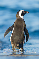 African Penguin walking into the water, Bettys Bay Marine Protected Area, Western Cape, South Africa