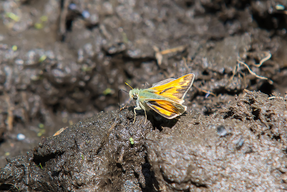 In an arid environment, after a good rain is a great time for finding butterflies such as this woodland skipper in Central Washington.