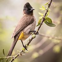 Pycnonotus barbatus, South Africa