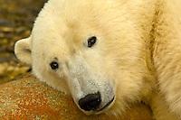 A polar bear rests with it's head on a rock, along Hudson Bay, near Churchill, Manitoba, Canada