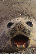 Southern Elephant Seal<br />