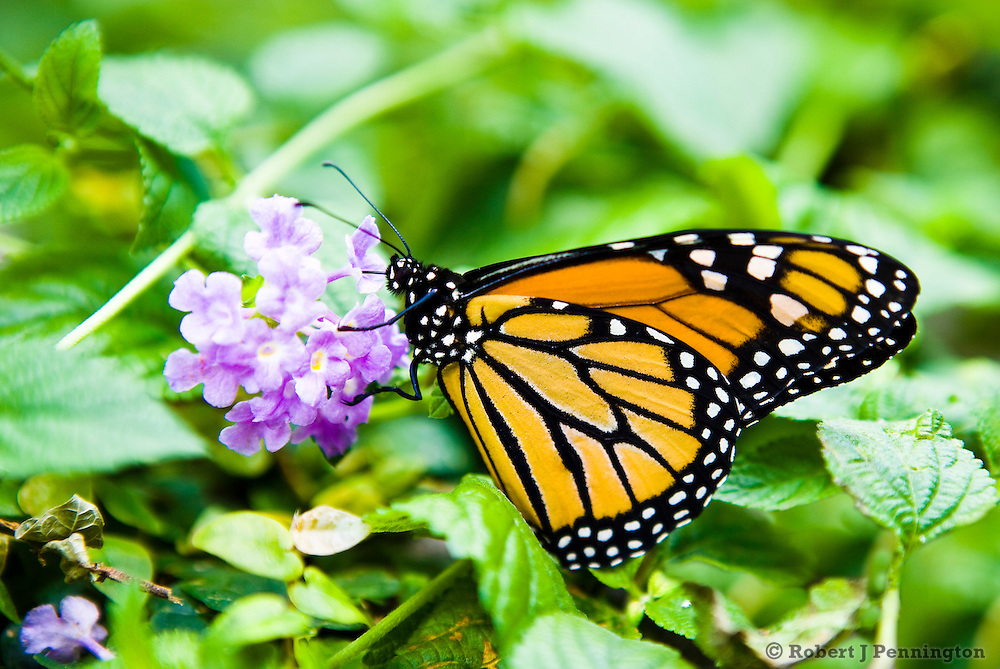 A Monarch butterfly feeding on a flower in a garden setting.