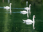 Swans swim in Lago di Dobbiaco (Toblacher See) in Val di Landro/ Höhlensteintal (in the watershed of Val Pusteria/Pustertal), in the municipality of Dobbiaco (Toblach), Trentino-Alto Adige/Südtirol region of Italy. Lake Dobbiaco exactly borders two Nature Parks: Tre Cime/Drei Zinnen Nature Reserve and Parco Naturale Fanes-Senes-Braies (Naturpark Fanes-Sennes-Prags). Originally formed from landslides, the lake level is now helped by humans. The Dolomites are part of the Southern Limestone Alps, in northern Italy, Europe. UNESCO honored the Dolomites as a natural World Heritage Site in 2009.