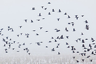 A large flock of birds flies over a cornfield on a foggy winter afternoon in Wawayanda, New York.