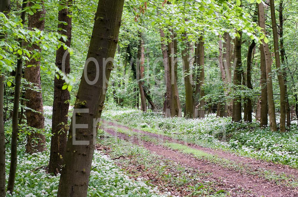 Wald, blühender Bärlauch bei Ilsenburg, Harz, Sachsen-Anhalt, Deutschland | forest, flowering wild garlic, Ilsenburg, Harz, Saxony-Anhalt, Germany
