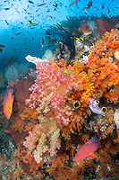 Coral Groupers and Soft Corals<br /> <br /> Shot in Indonesia