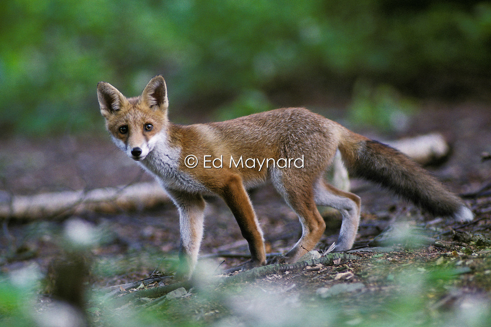 Red fox (vulpes vulpes), pictured in a woodland clearing near Loughborough, Leicestershire, England, UK.