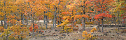 autumn Garry Oak, (Quercus garryana), Klickitat County, WA, USA panorama