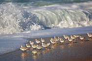 Western Sandpiper (Calidris mauri) birds at edge of sand beach and waves,
