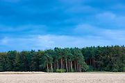 Evergreen coniferous forest of tall larch trees and conifers in the Cotswolds, UK