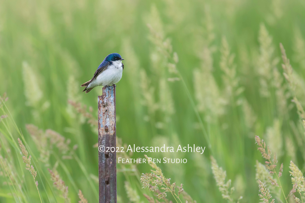 Tree swallow perched amid tall grasses at nature preserve, NE Ohio.