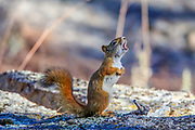 A Red squirrel barks an alert at the base of Devils Tower