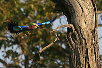 The Lilac-Breasted-Roller is a beautiful colourful bird and very shy. Here it is seen about to landing on a tree trunk in an isle in the middle of Okavango Delta.