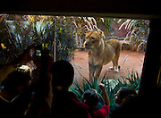 A Lion in the Big Cat exhibit at Sydney Taronga Zoo.