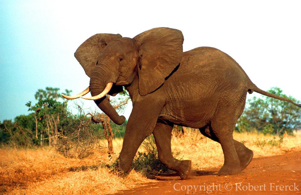 KENYA, WILDLIFE Meru Park; a wild male elephant charging  with ears flapping in a display to  intimidate enemies