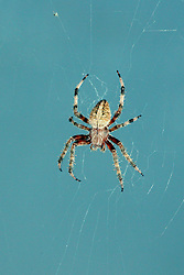05 Aug 2007: Macro of a small spider.  Believed to be an orb weaver.  The spider species Araneus diadematus is commonly called the European garden spider, diadem spider, cross spider, or crowned orb weaver. It is an orb-weaver spider found in Europe and North America