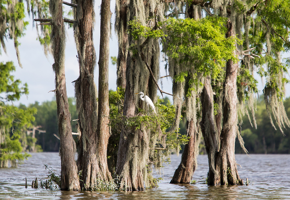 Great egrets in a nest at Lake Penchant