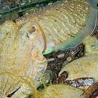 Alberto Carrera, Cuttlefish, Sepia, Ssepia officinalis, Cabo Cope-Puntas del Calnegre Natural Park, Mediterranean Sea,  Region de Murcia, Murcia, Spain, Europe