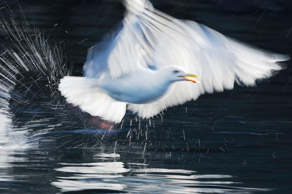 Herring gull, Larus argentatus, Flatanger, Norway. August 2008.