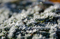 Frost crystals glitter on thyme (Thymus prostratus), Bar Harbor, Maine.
