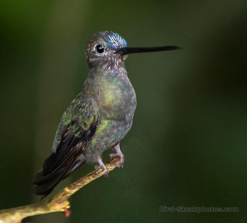 Blue-fronted Lancebill, Doryfera johannae, Ecuador, by Owen Deutsch