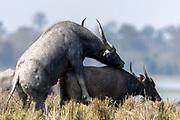 Mating pair of Indian Wild Buffalos (Bulbalus arnee) in Kaziranga National Park, Assam, north-east India.