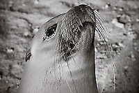 Closeup of a seal face in black and white, portrait. Wildlife and animals photography prints for sale. Fine art photography wall art and stock images.