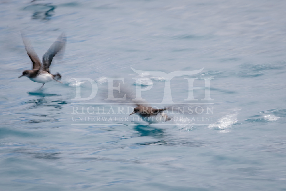 Hutton&rsquo;s shearwater (Puffinus huttoni)  also known as the Kaikōura tītī off the coast of Kaikoura, New Zealand. <br /> Friday 30 September 2016<br /> Photograph Richard Robinson &copy; 2016