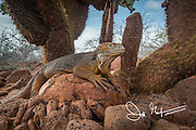 A Galapagos land iguana next to a prickly pear cactus on North Seymour island, Galapagos islands.