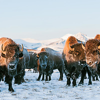 Bison bison, winter buffalo on the prairie rocky mountains, blackfeet reservation,  montana