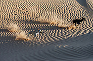 Two Sloughi dogs (Arabian greyhound) run in the sand dunes in the Sahara desert of Morocco.