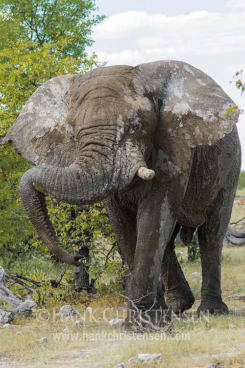 An african elephant flares its large ears as it grazes on branches, Etosha National Park, Namibia.