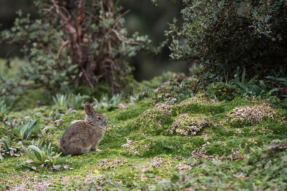 Brazilian Rabbit (Sylvilagus brasiliensis)<br /> Antisana Ecological Reserve<br /> Cordillera Real, Andes<br /> ECUADOR, South America