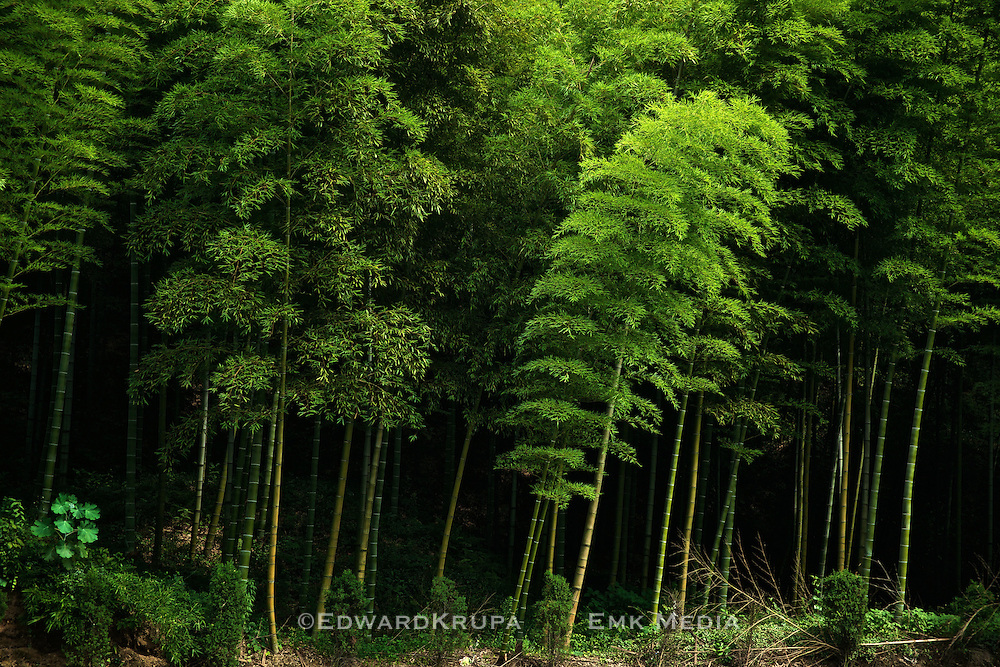 Bamboo forest at roadside in China.