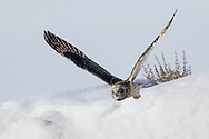 Using his acute hearing and keen eyesight, a short-eared owl searches for small mammals and birds as it courses silently over the snow covered fields.