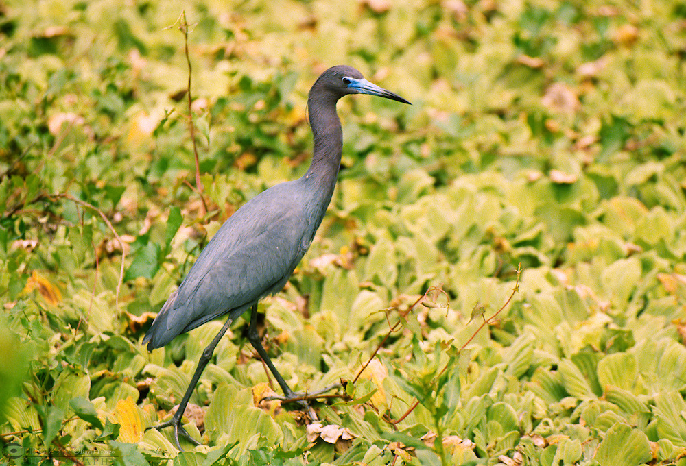 The Little Blue Heron, Egretta caerulea, is a small heron. It breeds from the Gulf states of the USA through Central America and the Caribbean south to Peru and Uruguay.