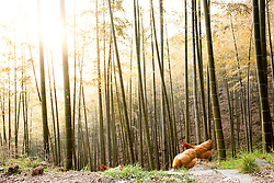 Chicken Roaming in Bamboo Forest