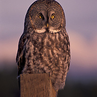 Great gray owl. Northwest Montana.