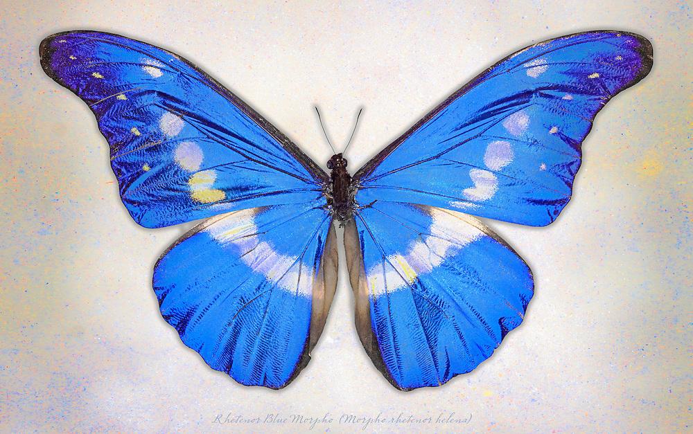 Rhetenor Blue Morpho (Morpho rhetenor helena) / #LPD172b