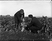 29/10/1959<br /> 10/29/1959<br /> 29 October 1959<br /> Root crops at Albert Agricultural College, Glasnevin, Dublin. Special for Townsend-Flahavan Seeds Ltd., Kilmacthomas, Co. Waterford.