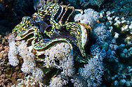 Giant clam-bénitier géant (Tridacna gigas) of Red Sea, Egypt.