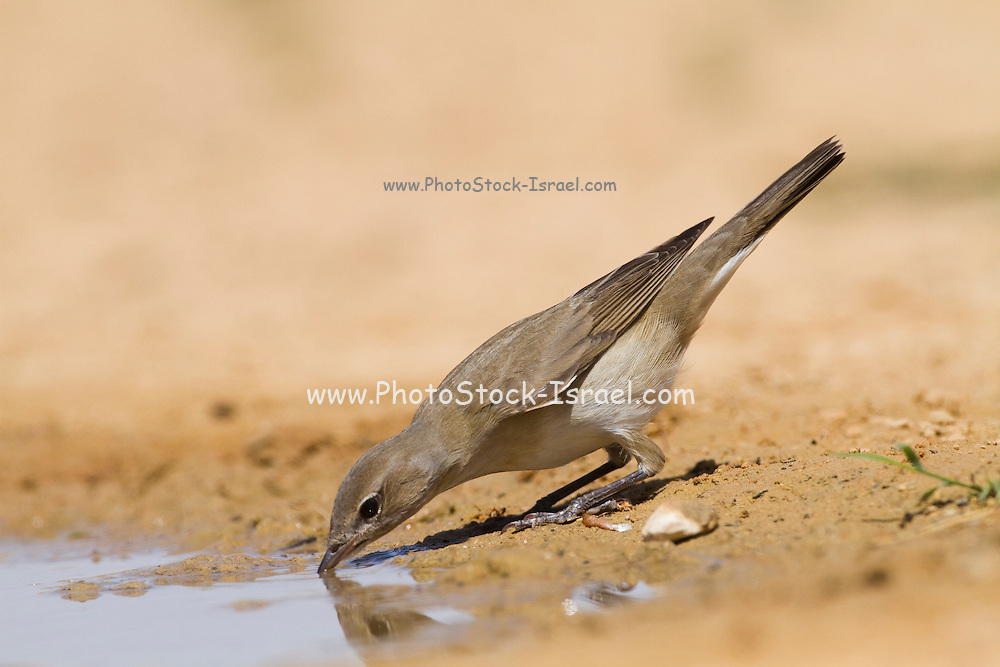 Garden Warbler (Sylvia borin) wintering in Israel. Photographed drinking from a puddle, Negev, israel