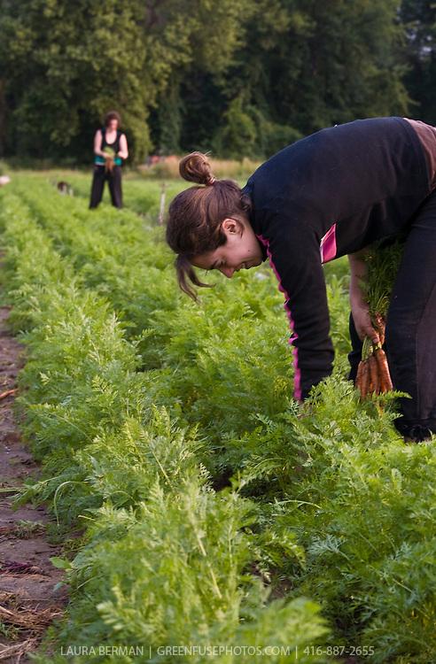 Carrot harvest at Thorpe's Organic Farm