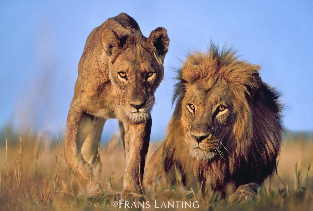 Male and female lions, Panthera leo, Okavango Delta, Botswana