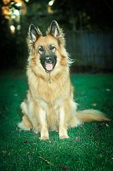 Alsatian, German shepherd dog, England, UK.