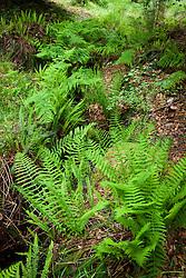 Ferns growing by a shady stream including Hard fern and Male fern. Blechnum spicant, Dryopteris filix-mas