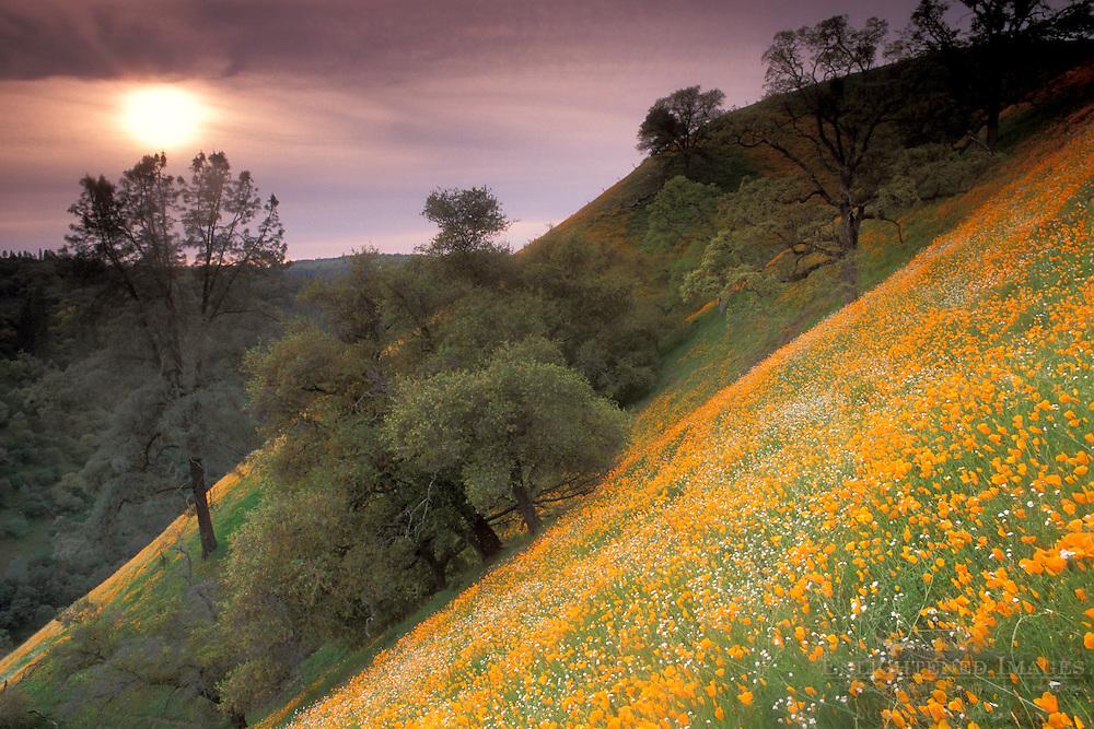 Golden poppies, oak tree, and wildflowers bloom in spring on green grass hillside near Jackson, Amador, California