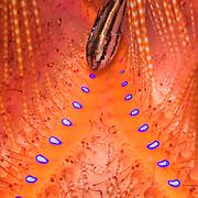 Urchin Cardinalfish Siphamia unicolor at Lembeh Straits, Indonesia.