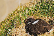 Kelp goose with nest on the edge of a grassy ledge..